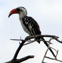 Jackson's Hornbill, © Michael Plagens