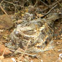 Slender-tailed Nightjar photo © Michael Plagens
