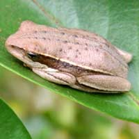 Tree frog, probably Hyla. photo © Michael Plagens