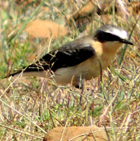 Northern Wheatear, © Michael Plagens