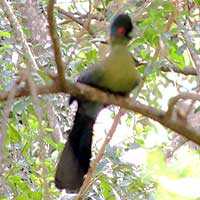 Purple-crested Turaco, © Michael Plagens