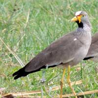 African Wattled Lapwing, photo © Michael Plagens