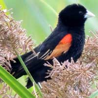 Fan-tailed Widowbird photo © Michael Plagens