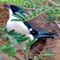 Tropical Boubou © Michael Plagens