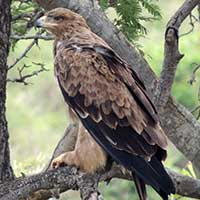 Tawny Eagle photo © Michael Plagens