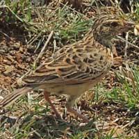 Fischer's Sparrow-Lark, Eremopterix leucopareia, © Michael Plagens