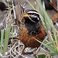 Cinnamon-breasted Bunting © Michael Plagens