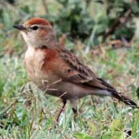 Red-capped Lark, Calandrella cinerea, © Michael Plagens
