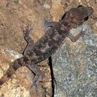 Speckled Hemidactylus Gecko