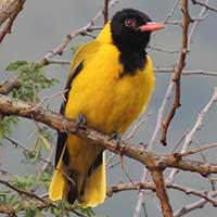 African Black-headed Oriole © Michael Plagens