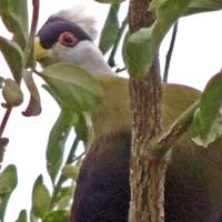 White-crested Turaco photo © Michael Plagens