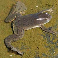 Xenopus Clawed Frog, Pipidae, photo © Michael Plagens