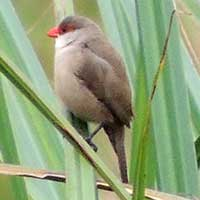 Common Waxbill, © Michael Plagens