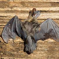 Bat, order Chiroptera, from Kerio Valley, photo © Michael Plagens