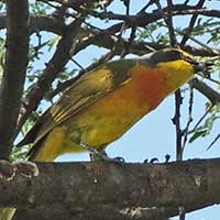 Sulfur-breasted Bush-Shrike photo © Michael Plagens