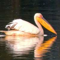 Great White Pelican © Michael Plagens