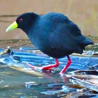 Black Crake photo © Evans Torotich
