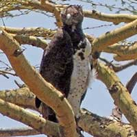 Martial Eagle photo © Michael Plagens