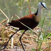 African Jacana photo © Michael Plagens