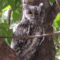 African Scops Owl, © Michael Plagens