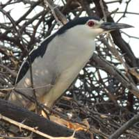 Black-crowned Night-Heron in Kenya, © Michael Plagens