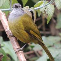 Olive-breasted Greenbul, Arizelocichla nigriceps, © Michael Plagens