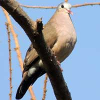 Namaqua Dove photo © Michael Plagens