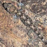 Kisumu Gecko, Hemidactylus