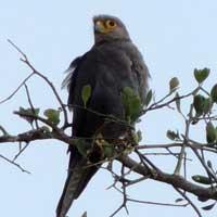Gray Kestrel, Falco ardosiaceus, photo © Michael Plagens