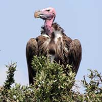 Lappet-faced Vulture photo © Michael Plagens