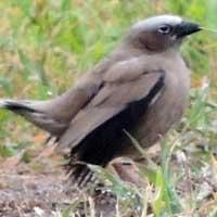 Jackson's Widowbird © Michael Plagens