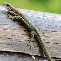 Jackson's Forest Lizard