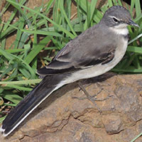 Cape Wagtail, © Michael Plagens